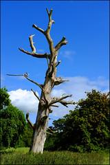 Dead. (ikerr) Tags: old blue tree green rot dead fuji estate northernireland fujifilm nationaltrust crom x100 cofermanagh