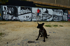 Lola takes center stage while Chum paints for ROBBO (Di's Free Range Fotos) Tags: art wall painting puppy artist arts lola tribute spraypainting robbo staffi chum101 graffitiking kingrobbo teamrobbo