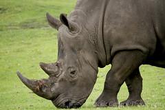 Rhino (pixiepic's) Tags: mammal eating rhino grazing hooves grasshorn westmidlandssafariparkanima