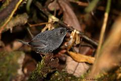 Bahian Mouse-colored Tapaculo - Macuquinho-preto-baiano - Scytalopus gonzagai - Scytalopus gonzagai