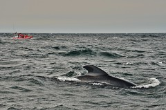 Pilot Whale Glimpse II (evanlochem) Tags: autumn canada fall nova saint lawrence gulf wildlife september cape whales aquatic scotia pilot breton