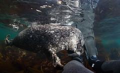 IMG_1933 (Andrey Narchuk) Tags: sea man island underwater russia leg dive seal contact fins commander bering