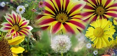 Wish (Feathering the Nest) Tags: flowers collage garden september dandelion seedhead wish 2014