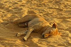 sandy dog (johnny eighto) Tags: dog beach relax sand labrador sandy relaxed