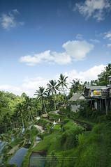 Rice Terraces (leonlee28) Tags: bali holiday indonesia landscape rice terraces ubud paddies balinese indon raice subak tegallalang leonlee28 leonlee tegallalangriceterraces rsimarkanduya