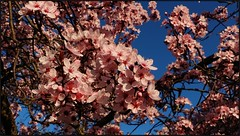 Flowering Plum (florahaggis) Tags: flowers winter blossom australia victoria horsham floweringplum streettrees pc3400