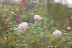 (teracotta8) Tags: pink flower rose japan