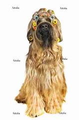 Hair (jjgsmits) Tags: fun frisur hund haare briard friseur funportrait hundesalon locken langehaare blondine friseurin lockenwickler hundeportrait hundefriseur blondehaare briardportrait hundefrisur