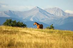 IMG_7137 (pamfromcalgary) Tags: horses foothills mountains cattle alberta