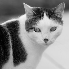 Le chat du test / test cat (SylvainMestre) Tags: bw test cat nikon chat nb f2 d4 200mm