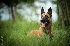 Inn (Aline Caid - Aline Passion Photo) Tags: chien malinois