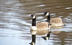 8160 A pair of Canada geese - whinging about me mostly (Andy - Busyyyyyyyyy) Tags: 20170306 bbb brantacanadensis canadageesebrantacanadensis ccc cymruwales female fff ggg goose lake lll llynparcmawr male mmm pair ppp reflections rrr water www ynysmôn