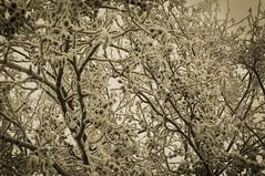 Frozen (pasiak75) Tags: 2017 agfacolors drzewo frost ice sepia snieg snow tree winter zima