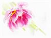 ~ Softly ~ (Brenda Boisvert .) Tags: tulip pink double highkey textured pse12 blossom bloom nature sonydschx200v brendaboisvert ~softly~