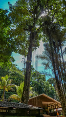 Brownsberg trees