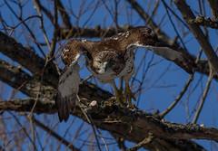 Red-Tailed-Hawk_MFD1083-FLNS (M F Davis) Tags: redtailedhawk juvenile eastern hawk redtailed madison wisconsin flying takeoff madisonwisconsin flyingtowardthecamera approaching