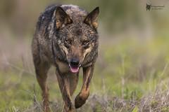 Lobo Iberico (PacoCampoy) Tags: lobo iberico
