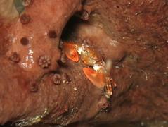 IMG_7041 (adrienweckel) Tags: adrienweckel crabeporcelaineagréable crutacés petrolisthesamoenus