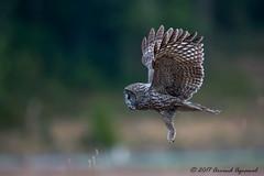Hunting - IMG_0827 (arvind agrawal) Tags: owl strixnebulosa wildlife raptor bird redwood bif birdinflight hunting vole prairiecreekredwoodsstatepark greatgrayowl greatgreyowl orick ca humboldtcounty canon canon600 canon1dx arvindagrawal