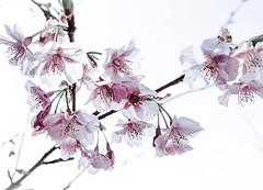 ..as the buds burst friendships blossom... (dawn.tranter) Tags: japan birthday crazysunday 7dwf nature tree burst blossom buds friendship dawntranter