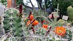 Cactus Flowers (aakeene) Tags: desert nature landscape flowers cactus sonorandesert tucson
