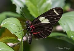 Butteryfly near Puerto Maldonado, Peru (J Centavo) Tags: butterfly puerto maldonado madre de dios region anaconda lodge lago sandoval peru