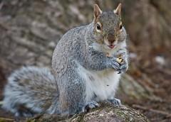 Mr. Nutcracker! (ineedathis,The older I get the more fun I have....) Tags: squirrel easterngraysquirrel sciurus critter treesquirrel sciuruscarolinensis eating acorn burl tree furry park heckscherpark longisland newyork spring closeup zoom nikond750