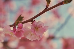 IMGP5692 (horschte68) Tags: flower pink rosa blüte frühling spring pentaxda50f18 pentaxart pentaxk50 outdoor aussen perspektive perspective meisen meissen deutschland germany
