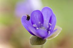 Intimacy (Federico Prisco) Tags: macro macromagister montagna montesanvicino macrodreams nikon nikond7000 nature wildlife flickraward fly flickr fiori