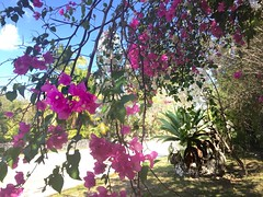 The Bight (Simone Scott) Tags: agave flowers thebight caymanislands caymanbrac