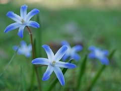 Frühling #2 (DM_Hamburg) Tags: macro panasonicg81 dslm panasonic30mmmacro 28 30mm blue green blau grün pflanze spring outdoor nature natur hamburg germany springtime