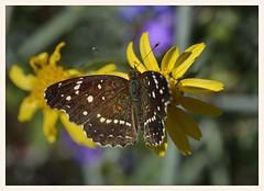 Texan Crescent (gauchocat) Tags: arizonasonoradesertmuseum tucsonarizona