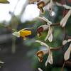 Sweet scented kiss. (Luurankorotsi) Tags: orchid orchids turunyliopistonkasvitieteellinenpuutarha puutarha botanical turkuuniversitybotanicalgarden garden botanicalgarden flora flower bloom ruissalo theislandofruissalo turku archipelago coelogyne dayana lycaste aromatica sweetscentedlycast lycast kesähelokämmekkä finland varsinaissuomi
