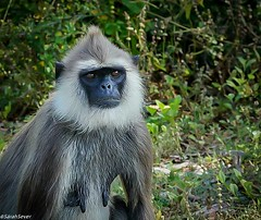 Bundala sees several of the territorial monkey families! Here's a portrait of the big mommy! (WhyCallSarah) Tags: march 27 2017 1158pm bundala sees several territorial monkey families heres portrait big mommy