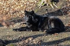 Black Wolf, Canis Lupus (Guy Lacroix) Tags: mammifère loup animal mammal predator prédateur parcoméga montebello québec canada tamronsp150600mm nikond7100 guylacroixflickr timberwolf greywolf loupgris canislupus loupdesbois graywolf lobo wolf carnivore wolfpack alphamale wolves nekra bighana hurar yitiaolang vuk vlk ulv hunt susi wulf lupo ookami vilks wilk lup bolk wolk kurt blaidd dib blackwolf guylacroixphotography