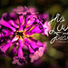 God's Enduring Love Penstemon Wildflower