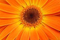 Orange Gerbera Daisy (Sandyp.com) Tags: orangegerberadaisy daisy gerbera flower macro sonyalpha sonya7rii topazglow