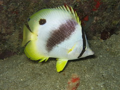IMG_6951 (adrienweckel) Tags: adrienweckel chaetodonocellatus papillonocellé poissons