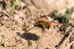 Dark-edged Bee Fly (Gareth Christian) Tags: d750 macro nikon nikond750 fackendendown bombyliusmajor darkedgedbeefly beefly kwt kentwildlifetrust