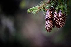 pinecone triplets (dotmatchbox) Tags: zapfen tanne cone pinecone baum tree wald forest schuppen scale three drei triplets drillinge