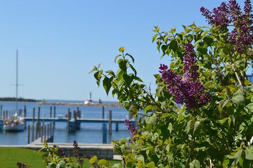 Lilac Festival | THE SHELTON LAB