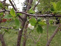Cherry 1_65