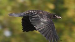Rook 2 20140617 (Steve TB) Tags: canon rook birdinflight eos7d isleofwightwildlife