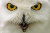 Snowy Owl NIK_8565-68.jpg (Mobile Lynn) Tags: bird nature birds fauna unitedkingdom wildlife ngc surrey npc 500v50f owls farnham snowyowl watermarked coth greatphotographers supershot specanimal platinumheartaward simplysuperb coth5 greaterphotographers flickrbronzetrophygroup sunrays5