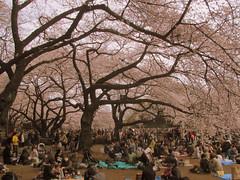 3995 Tokyo-Grade Hanami (mari-ten) Tags: people tree nature japan garden tokyo spring shinjuku crowd  cherryblossom    hanami kanto shinjukugyoen 2012 eastasia       shinjukugardens 201204 20120407