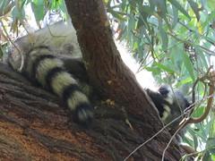 raccoon juvenile sleeping-el dorado east (4) (gskipperii) Tags: sleeping beach nature mammal long wildlife el tired raccoon dorado