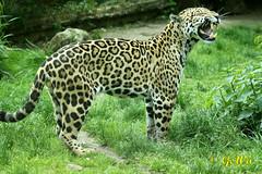 Jaguar (Geralds-Raubtiere) Tags: jaguar zookrefeld flickrbigcats