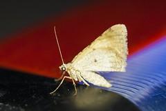 Moth (S_Crews) Tags: insect nevada moth lepidoptera mojavedesert arthropod valleyoffirestatepark clarkcounty uvlightnight archrockcampground