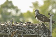 _DSC1402 (Putneypics) Tags: summer ma capecod newengland breeding falmouth osprey pandionhaliaetus nesting fishhawk pandion surfdrive putneypics