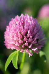 Red Clover (InnesAlison) Tags: summer flower nature clover wildflower redclover trifoliumpratense decew